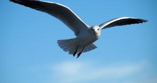 gull-591350_640 (1)