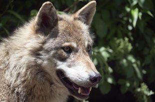 european-wolf-1479452_640