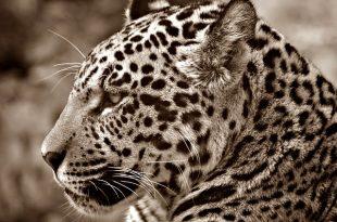 jaguar-70026_640