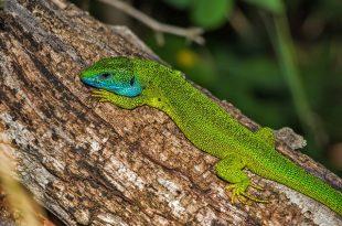 lizard-139988_640