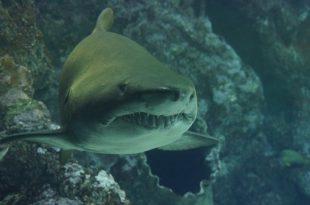 shark-426566_640
