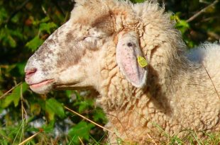 sheep-63230_640