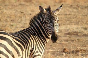 zebra-175085_640